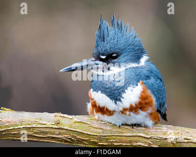 Female Belted Kingfisher resting on branch. - Stock Photo
