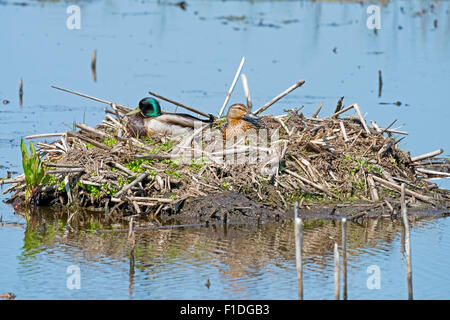A Male and Female Mallard in their nest - Stock Photo