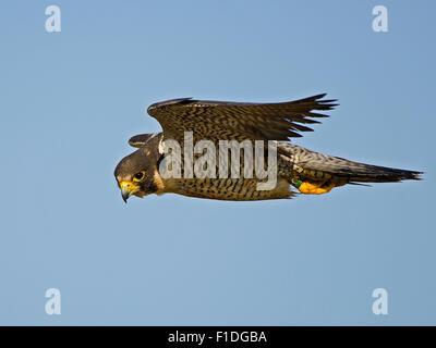 Peregrine Falcon In Flight - Stock Photo