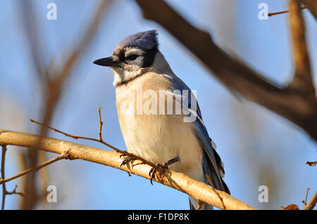 Blue Jay Perched on a Branch - Stock Photo