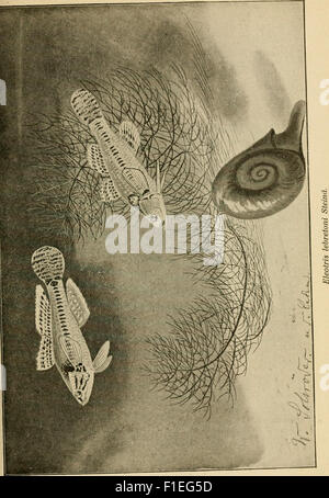 Die exotischen zierfische in wort und bild (1914) - Stock Photo