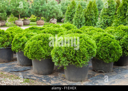 Cypresses plants in pots on tree farm - Stock Photo