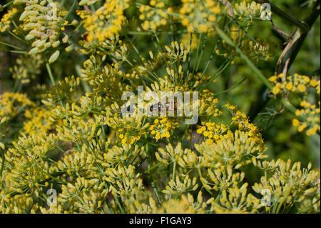 Wespe sitzt auf Fenchelblüten, Whasp siiting in fennel blossoms, summer 2015 - Stock Photo