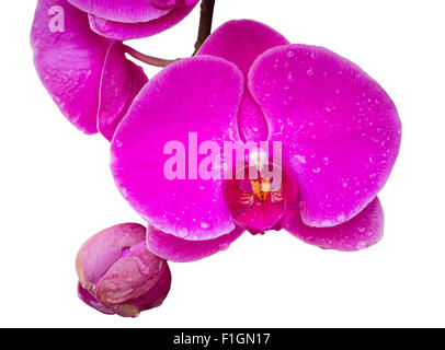 pink phalaenopsis orchid flower isolated on white with clipping path - Stock Photo