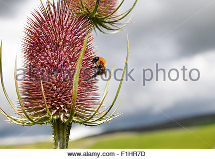 Holwick, Middleton-in-Teesdale, Co Durham, UK. 2nd September 2015. UK Weather: Ahead of the imminent rain a bee - Stock Photo