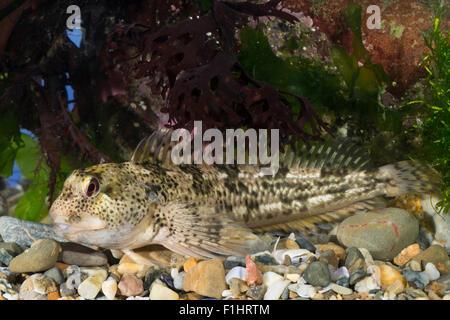 Shanny, combtooth blenny, Schan, Schleimlerche, Lipophrys pholis, Lipophris pholis, Blennius pholis, Le Mordocet, - Stock Photo