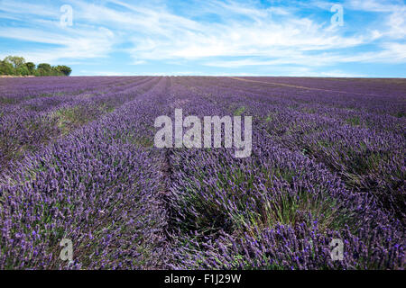 Lavender fields in Hitchin, UK - Stock Photo