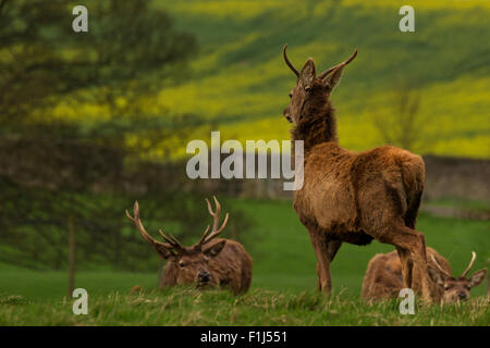 Red deer stags with proud youngster staring into the distance - Stock Photo