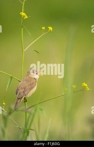 Marsh warbler (Acrocephalus palustris) bird singing in a field with yellow flowers - Stock Photo