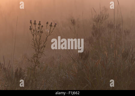 The silhouette of a thistle flower and other wetland plants in the early morning, orange glow at a fog covered marsh. - Stock Photo