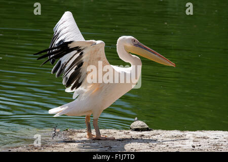 Pelican standing on the shore of lake - Stock Photo