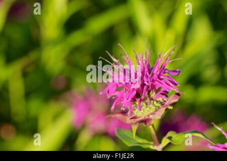Wild bergamot or bee balm. Monarda fistulosa. - Stock Photo