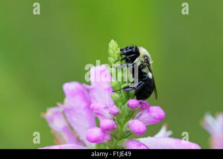 Bumblebee on obedient plant flower bud - Stock Photo