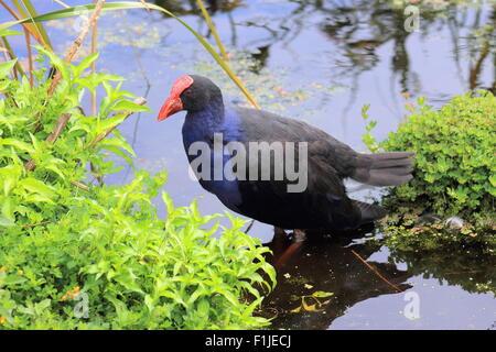 Pukeko - Australasian swamphen - Stock Photo
