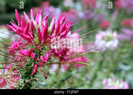 Cleome Spinosa - Spider flowers - Stock Photo
