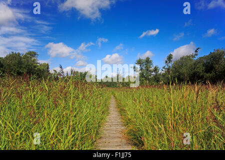 A boardwalk through reed beds on the Bure Marshes National Nature Reserve near Woodbastwick, Norfolk, England, United - Stock Photo