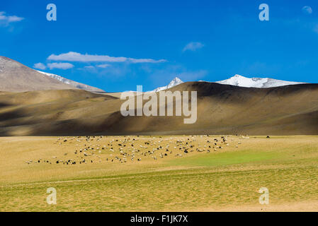 Barren landscape with a flock of Pashmina Goats (Capra aegagrus hircus) and snow capped mountains, Changtang area, - Stock Photo