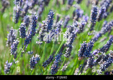 Close up of lavender flowers in a field - Hitchin, UK - Stock Photo