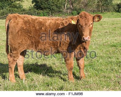 A pedigree South Devon heifer calf in a grass field. - Stock Photo