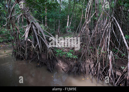 Mangrove forest along Rio Tarcoles near Carara National Park, Costa Rica, Central America. Nature, trees, roots, - Stock Photo