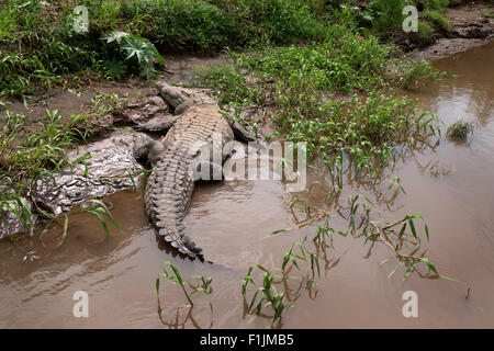 American crocodile (Crocodylus acutus), animal sleeping on river bank, Rio Tarcoles, Costa Rica. Wild fauna, wildlife, - Stock Photo
