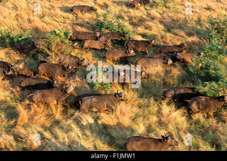 Aerial View Buffalo Herd Kruger National Park Mpumalanga, South Africa - Stock Photo