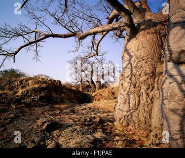 Baobab Tree near Kunene River Epupa Falls, Angola, Africa - Stock Photo