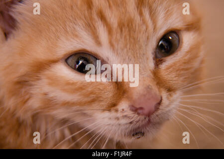 Close up of Ginger Tom Kittens face - Stock Photo