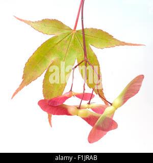 Faecherahorn; gruener, Acer, palmatum, Osakazuki, - Stock Photo