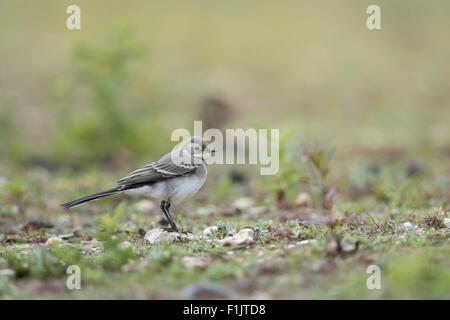Young Wagtail / Bachstelze ( Motacilla alba ) sitting in its natural habitat. - Stock Photo