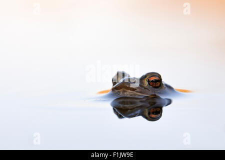 Common Toad / Erdkroete ( Bufo bufo ) floats on beautiful water surface waiting for its mate. - Stock Photo