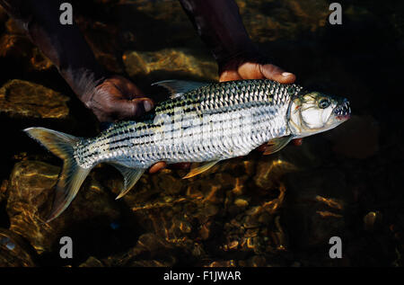 Hands Holding Tiger Fish in Water - Stock Photo