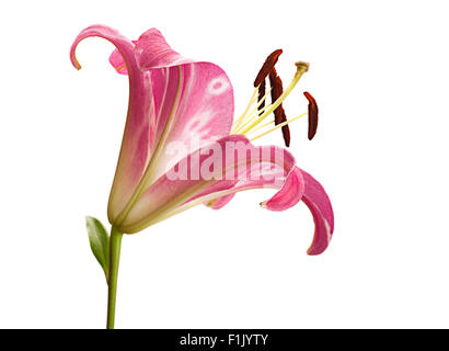 Pink lily flower head closeup isolated on white - Stock Photo