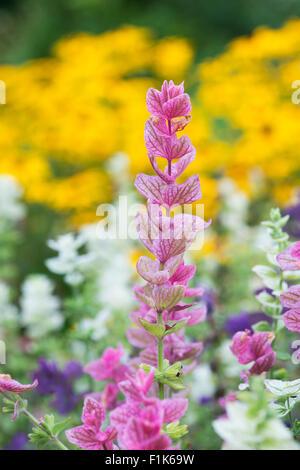 Salvia viridis . Annual Clary sage. Painted sage leaves - Stock Photo