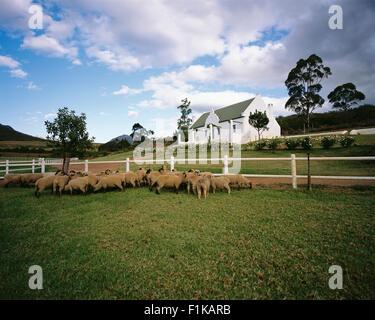 Sheep in Field Swellendam, Western Cape, South Africa