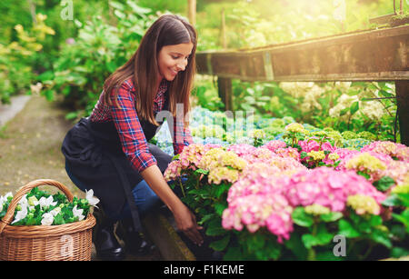 Woman selecting a pink hydrangea from amongst the stock in the greenhouse at a nursery bending down with a smile - Stock Photo