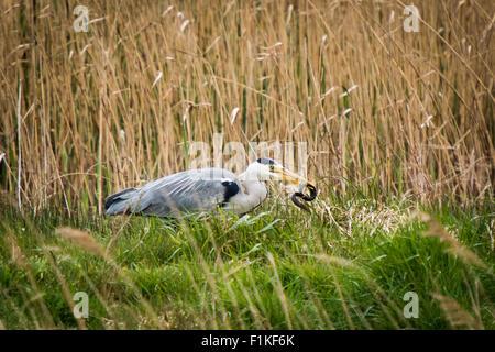 Grey Heron (Ardea cinerea) catches an eel in a marsh - Stock Photo