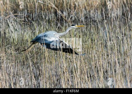 Grey Heron (Ardea cinerea) taking flight in Reeds in Marsh - Stock Photo