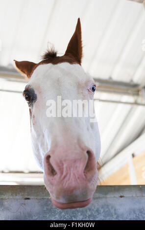 A horse with different colored eyes. - Stock Photo