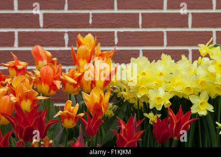 Vibrant yellow orange and red tulips and daffodils grow in groups along a painted brick wall in Oregon. - Stock Photo