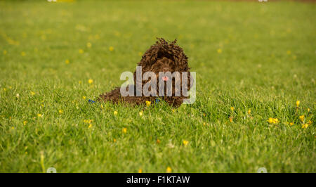 A cute Cockapoo relaxing in a park - Stock Photo