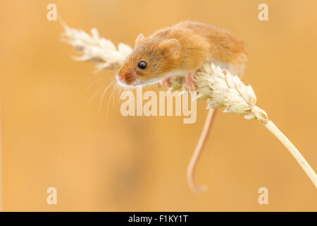 Harvest mouse (Micromys minutus) climbing an ear of wheat - Stock Photo