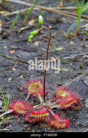 Common Sundew (Drosera rotundifolia) with inflorescence, just before the flower buds open Stock Photo