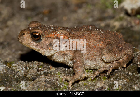 A young Common toad (Bufo bufo) - Stock Photo