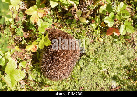 small, very probably sick, hedgehog curled up in the sun trying to keep warm - Scotland, UK - Stock Photo
