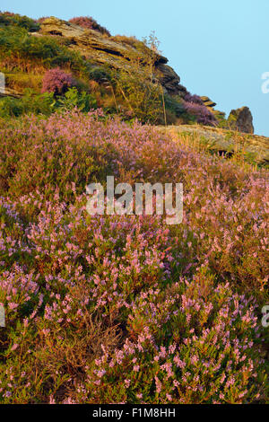 Early Morning Sun on Heather - Calluna vulgaris Hound Tor, Dartmoor - Stock Photo