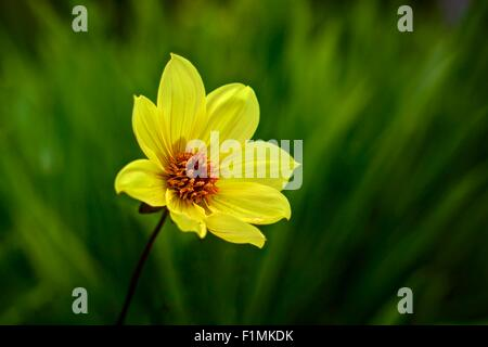 A sharply rendered Yellow Hammer Dahlia with yellow petals and an orange centre, against a blurred background of - Stock Photo