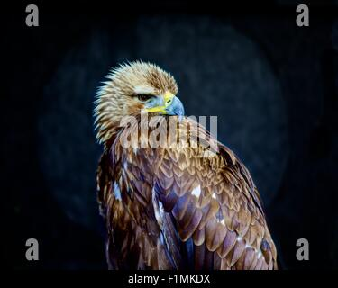 A close-up shot of a young Golden Eagle, Aquila Chrysaetos, looking at camera rendered sharply against a black background. - Stock Photo