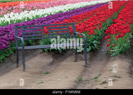 A black metal bench sits in front of rows or red, purple, white, pink and orange tulips on a farm in Oregon. - Stock Photo