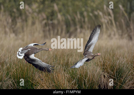Territorial Greylag Geese ( Anser anser ) / Graugaense in struggle. - Stock Photo